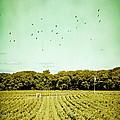 Vineyard by Colleen Kammerer