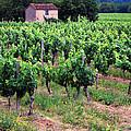 Vineyard by Dave Mills