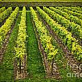 Vineyard by Elena Elisseeva
