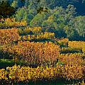 Vineyard Fall by Beth Sanders