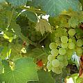 Vineyard by Gina Dsgn