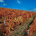 Vineyard In Negotin. Serbia by Juan Carlos Ferro Duque