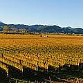 Vineyard In Nz by Jeffrey Banke