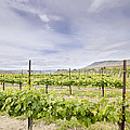 Vineyard Landscape In Maryhill Washington State by Jit Lim