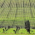 Vineyard Lines 23036 by Jerry Sodorff