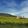 Vineyard On Sunny Hill by Jan Brons