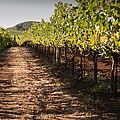 Vineyard Soil Of Sonoma by Kent Sorensen