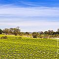 Vineyard by Tim Hester