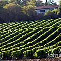 Vineyard by Tim Holt