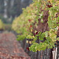 Vineyard View by Nicholas Miller
