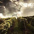 Vineyard Wanderlust by Stuart Gallagher