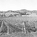 Vineyards by Frank Wilson