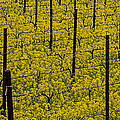 Vineyards Full Of Mustard Grass by Garry Gay