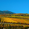 Vineyards In Autumn, Valais Canton by Panoramic Images