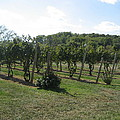 Vineyards In Va - 121251 by DC Photographer