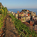 Vineyards Of Manarola by Susan Rovira