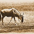 Vintage African Safari Wildbeest by Dan Sproul
