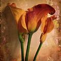 Vintage Calla Lily by Jessica Jenney