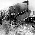 Vintage Circus Elephant Unloading by Retro Images Archive