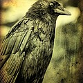 Vintage Crow by Gothicrow Images