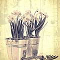 Vintage Daffodils by Amanda Elwell