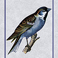 Vintage English Sparrow Vertical by Elaine Plesser