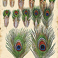 Vintage Feather Study-jp2084 by Jean Plout