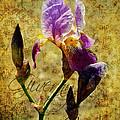 Vintage Iris by Carla Parris