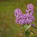 Vintage Lilac Bush by Mel Hensley