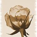 Vintage Rose 2013 by Maria Urso
