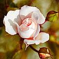 Vintage Rose by Christina Rollo