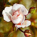 Vintage Rose Square by Christina Rollo