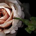 Vintage Rose  by Susan McMenamin