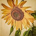 Vintage Sunflower by Edward Fielding