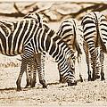 Vintage Zebras by Dan Sproul