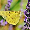 Violet And Gold - Butterfly by Kim Bemis