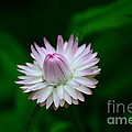 Violet And White Flower Sepals And Bud by Imran Ahmed