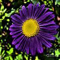 Violet Aster by Nina Ficur Feenan