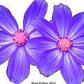 Violet Asters by Bruce Nutting