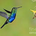 Violet-bellied Hummingbird by Anthony Mercieca