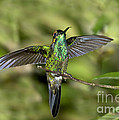 Violet-fronted Brilliant by Anthony Mercieca