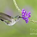 Violet-headed Hummingbird by Anthony Mercieca
