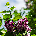 Violet Lilacs And A Bee by Alexander Senin
