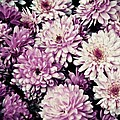Violet Mums by Patricia Strand