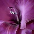 Violet Passion Gladiolus Flower by Jennie Marie Schell