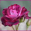 Violet Red Rose by Maria Urso