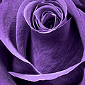 Violet Rose by Adam Romanowicz