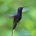 Violet Sabrewing Hummingbird by Heiko Koehrer-Wagner