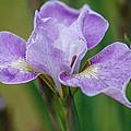 Violet Siberian Iris by Amy Porter