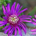 Violet Spring Iv by Ricky Cerda